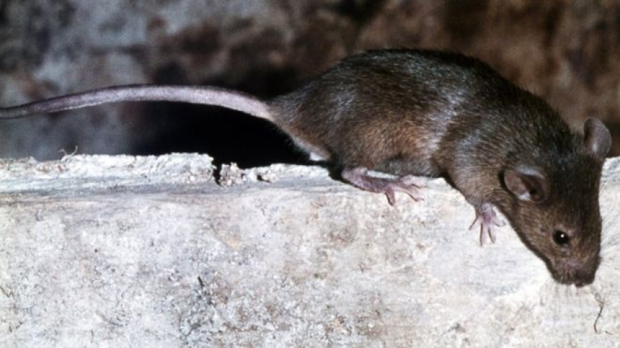 French girl mutilated by rats in night attack at home